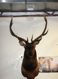 taxidermy038